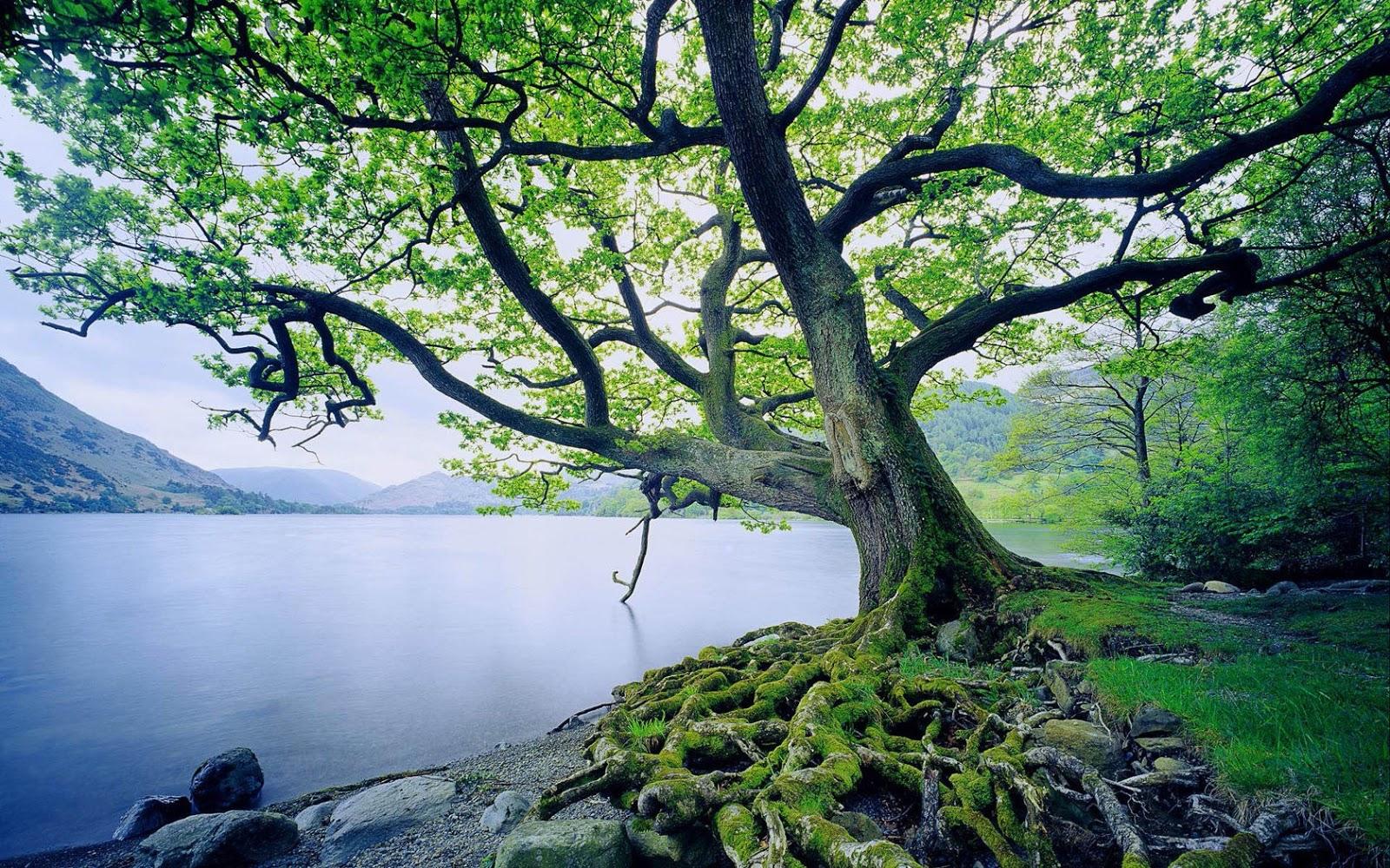 A folyó mellé ültetett fa